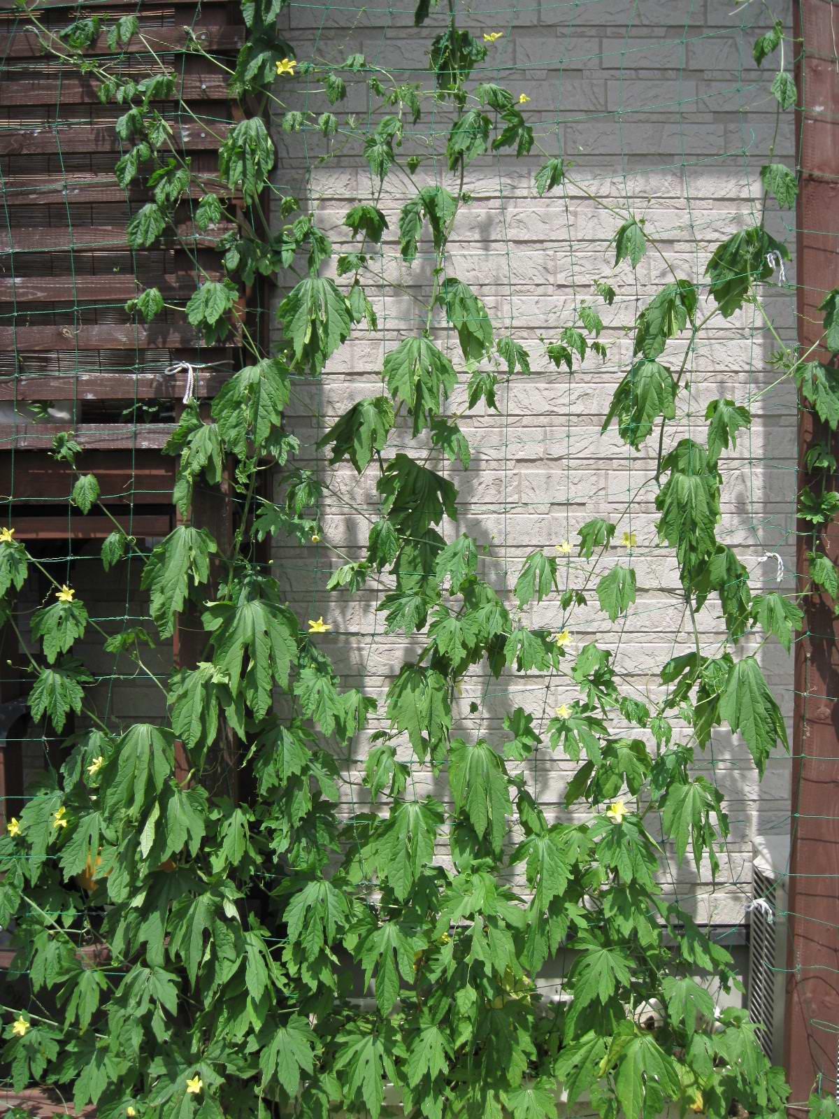 我が家の緑のカーテン・4・2010/6/30の画像