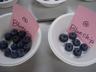Bluecrop(ブルークロップ)と、Bluechip(ブルーチップ)