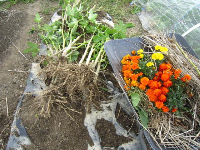 マリーゴールド効果 センチュウ対策 オクラ モロヘイヤの撤収 大好き 野菜の時間