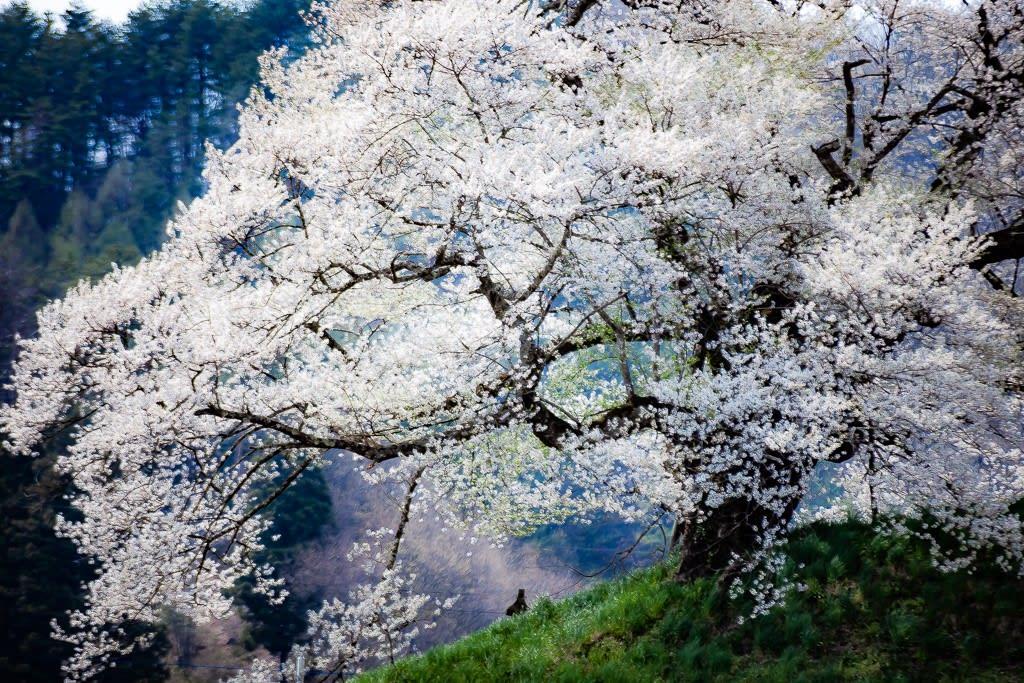 発知のしだれ桜の写真
