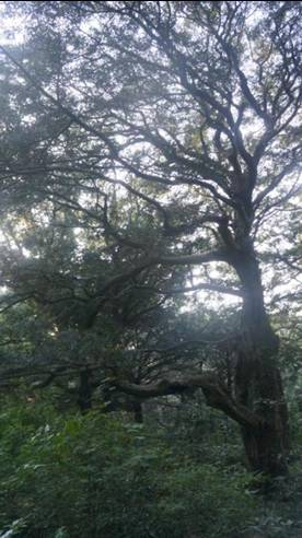 韓国旅行 済州島 榧子林(ピジャリム)