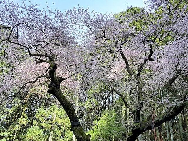 野ねずみ山日記 春の虎尾桜'2020 -命の力をもらいに- - 帰りたい空