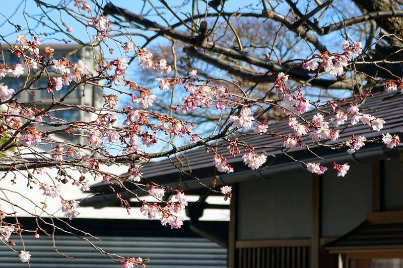 徳林寺境内の十月桜。年を越しても愛らしく咲いている クリックすると元画像が別ウィンドウで開きます