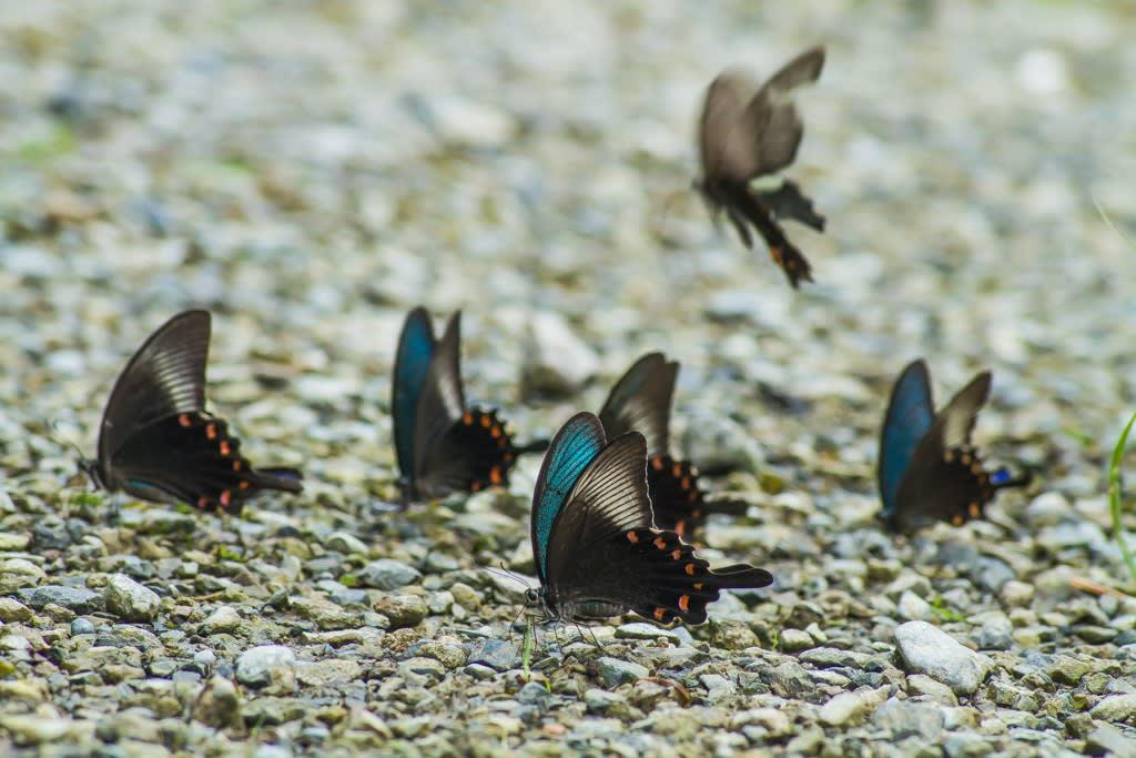 カラスアゲハの集団吸水写真