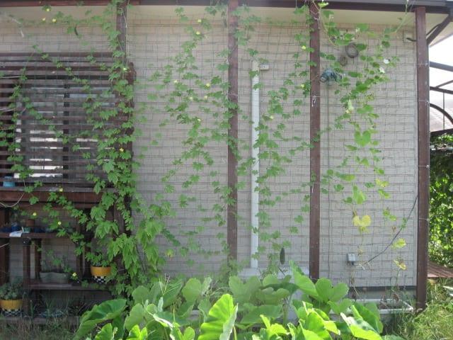我が家の緑のカーテン・2011/07/30の画像