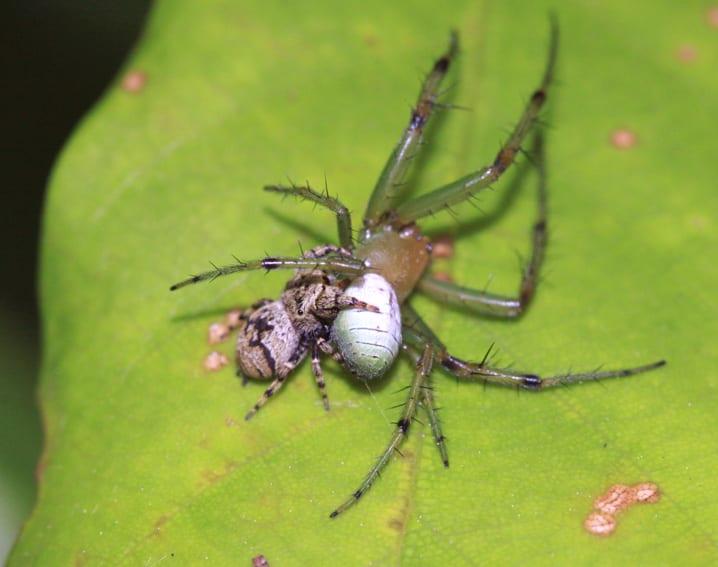 アオオニグモ♂ - 蜘蛛