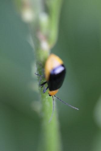 黒瓜金花虫(クロウリハムシ) -...
