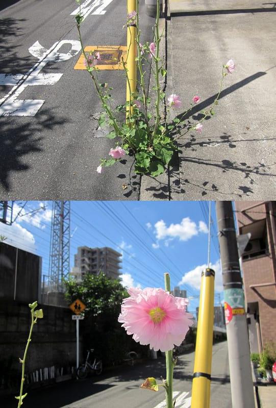 Street_cotton_rose