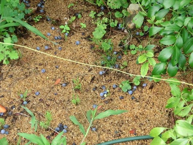 地面に落ちたブルーベリーの実
