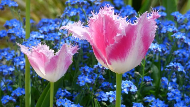 フリンジ咲きチューリップ