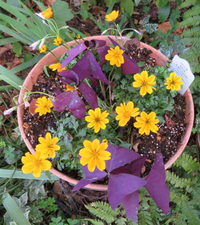 ビデンス ゴールデンエンパイアの黄色い花