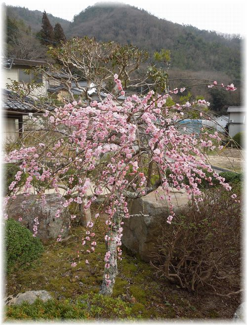 しだれ桜 2014年3月19日