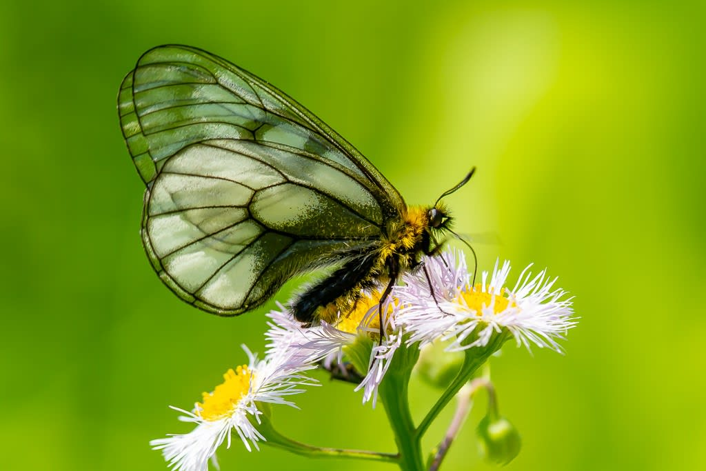 ウスバシロチョウの写真