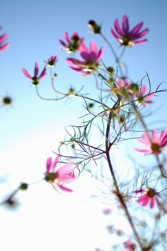 名残の秋桜