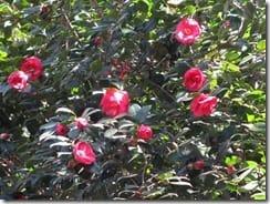 ⑦椿の花に春の足音が