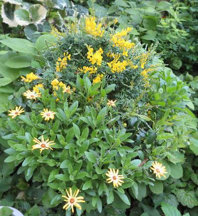 黄色い花いっぱいの寄せ植え