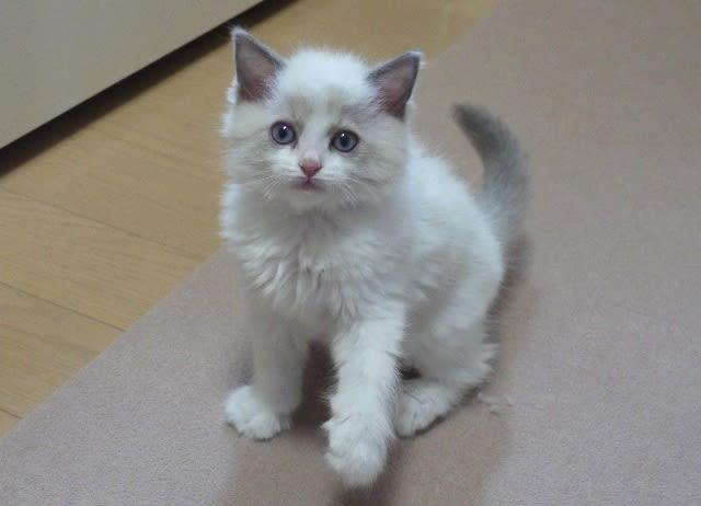 ラグドールの子猫がたくさん♪(*^_^*)可愛いですよ!! , ◇癒し系ラグドール&シャルトリューとの猫三昧のおうち◇