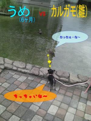 ガー子VS極小チワワ - 甘えん坊チワワの成長日記☆