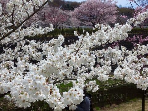 相模原公園せせらぎ地区の桜2018.3.26現在 - あられの日記