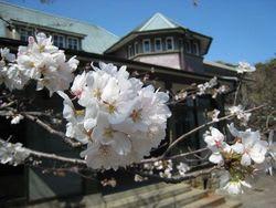 田戸台分庁舎の桜