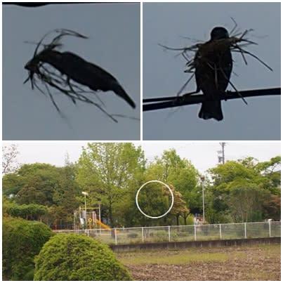 庭へ出て前の畑を眺めていると、ムクドリが三羽ダンス?をしているのを目撃、これは面白いとカメラを取りに行っているうちにどこへやら・・・しばらくすると2羽戻っ