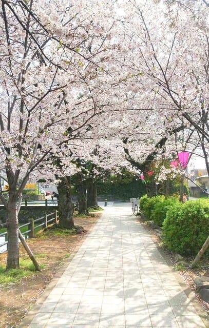 小田原 桜