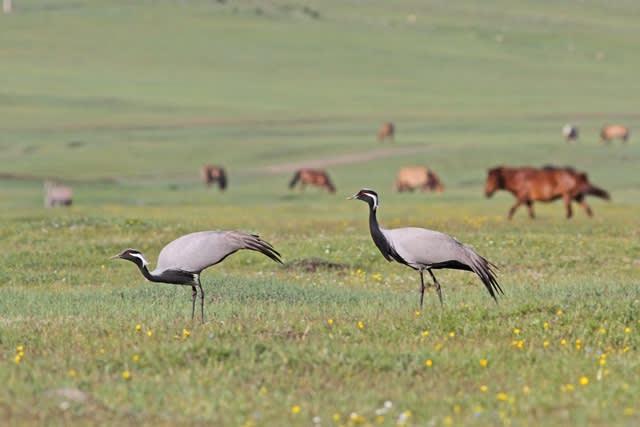 探鳥地としてのモンゴル - 鳥キ...