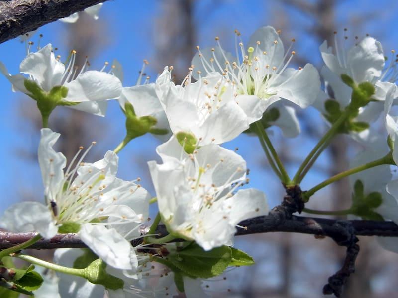 03月27日 大島桜