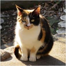 「フランス語で三毛猫は何と言いますか? ←」の質問画像