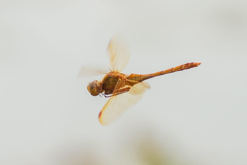 オオキトンボの飛翔写真