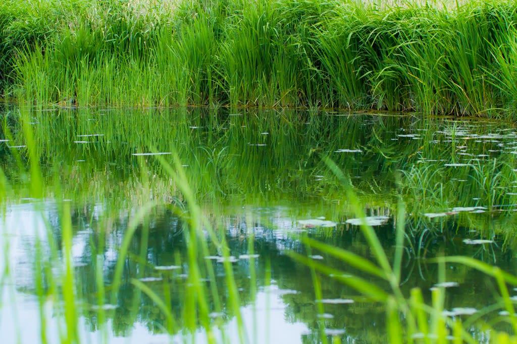 セスジイトトンボの生息する池の写真