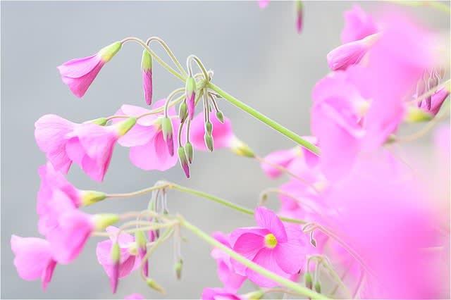 ハナカタバミ(オキザリス・ボーウィー)