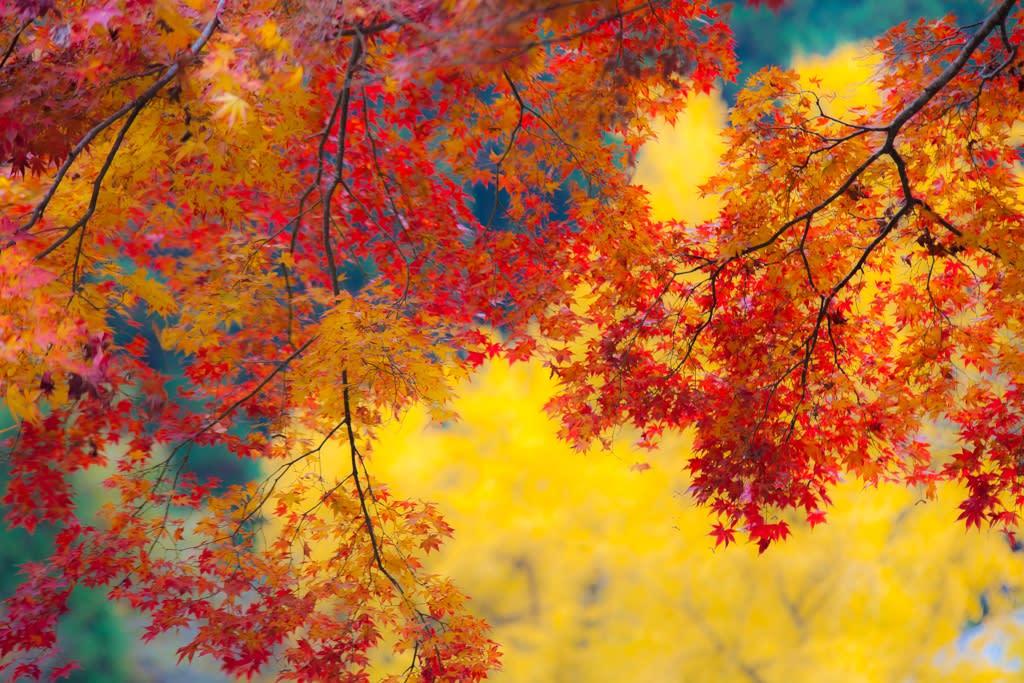 大銀杏と紅葉