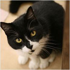 「靴下猫は幸運を呼ぶ?猫にまつわる迷信 ←」の質問画像