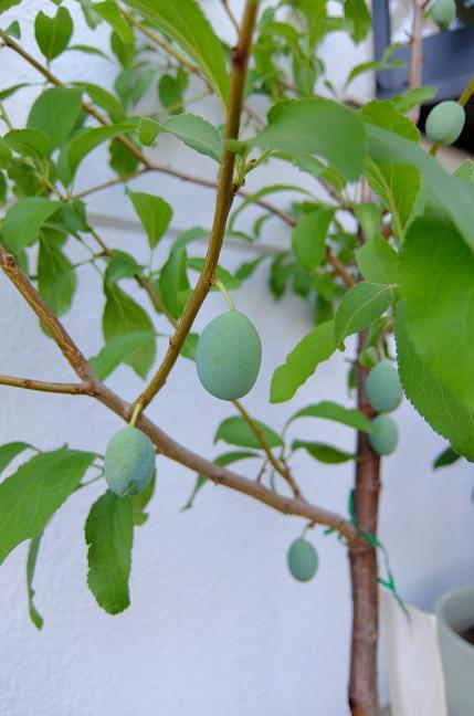 栽培 プルーン