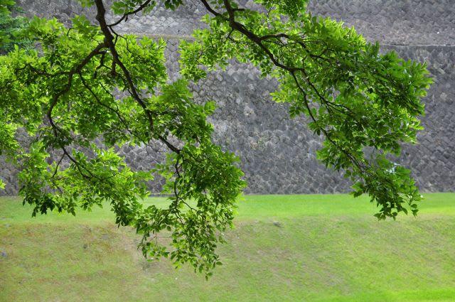 緑葉と石垣