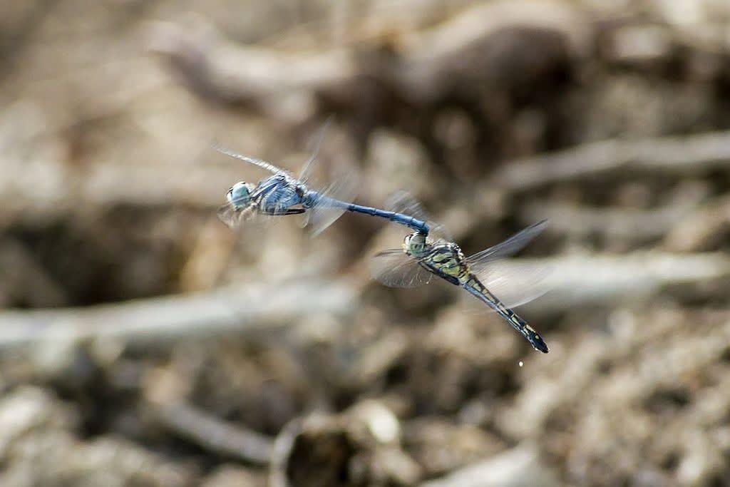 ナニワトンボの連結打空産卵の写真