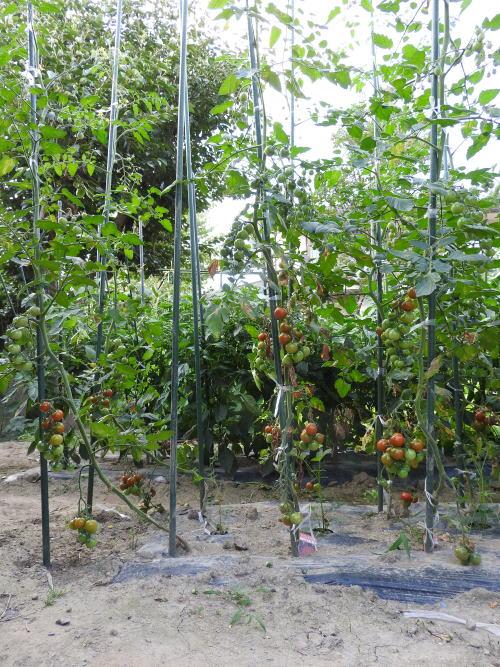 高 支柱 ミニ さ トマト