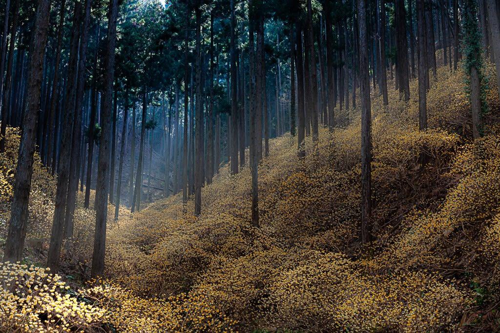 ミツマタの森の写真