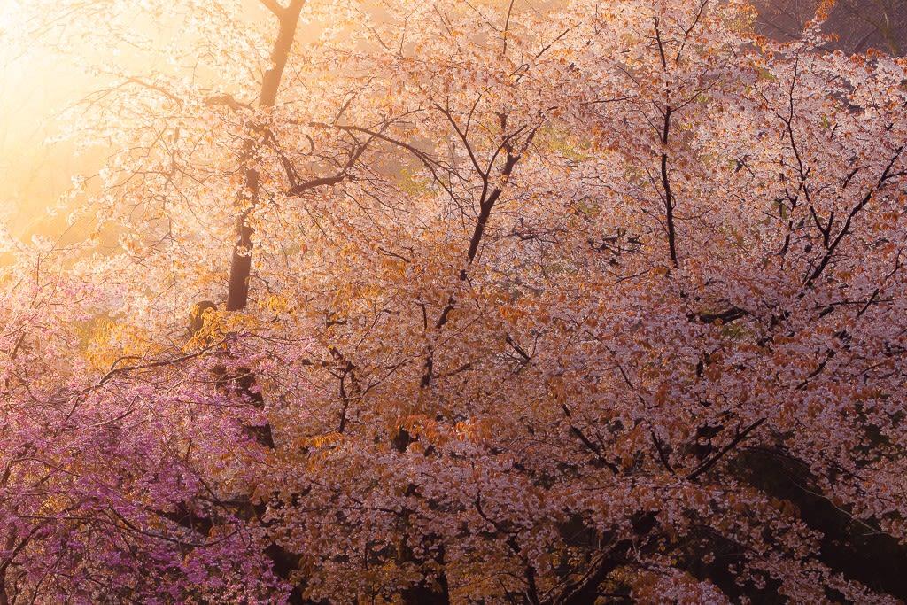 山桜の写真