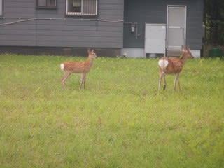 今年も鹿が
