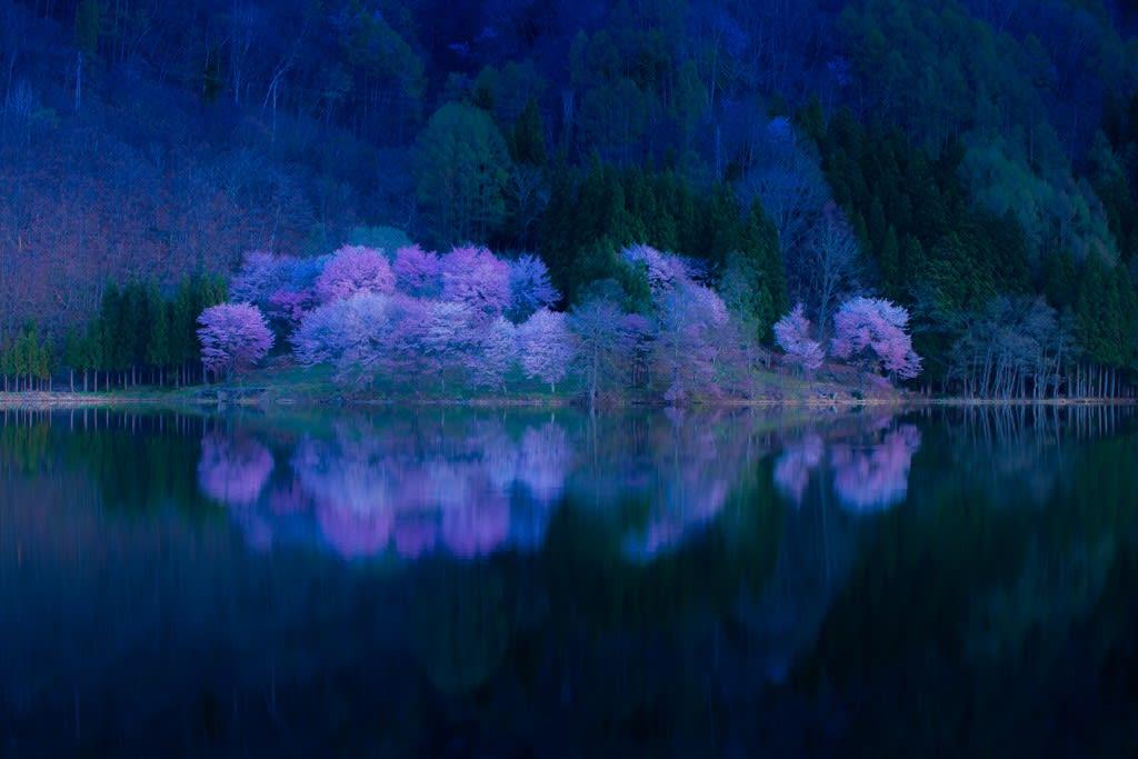 中綱湖オオヤマザクラの写真