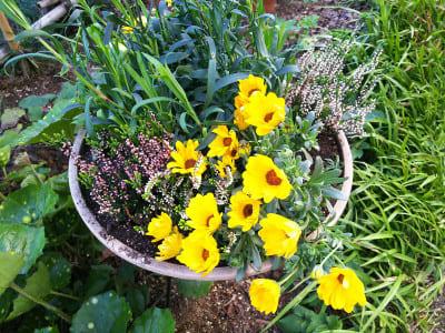 オステオスペルマムの黄色い花