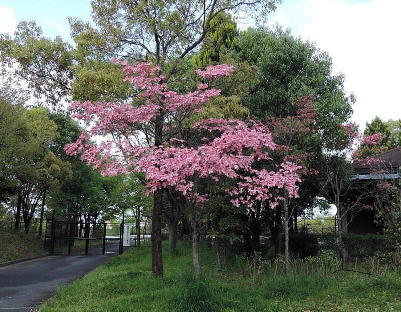Beautiful_dogwood_flower_2