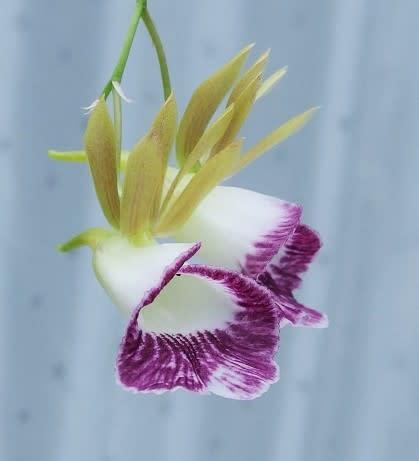 cd5422dacd8ad ずっと沈黙していて咲く気配もありませんでしたが、 突然バルブのてっぺんから花芽が出始めた時は驚きました!