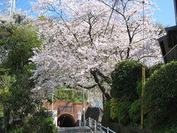 坂本トンネルの桜