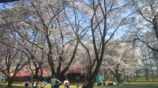 続桜吹雪の長野牧場(  4月27日)