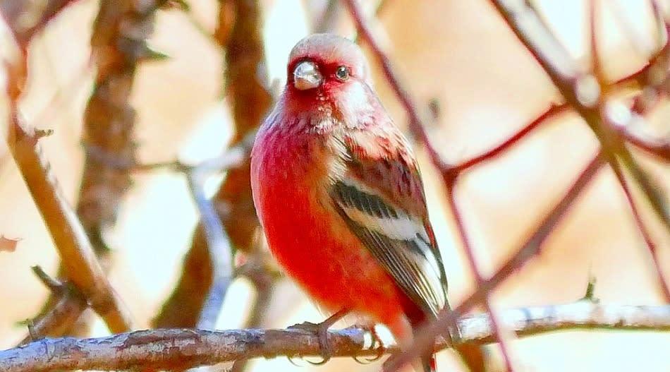 童謡に「赤い鳥小鳥なぜなぜ赤い。赤い実を食べた …