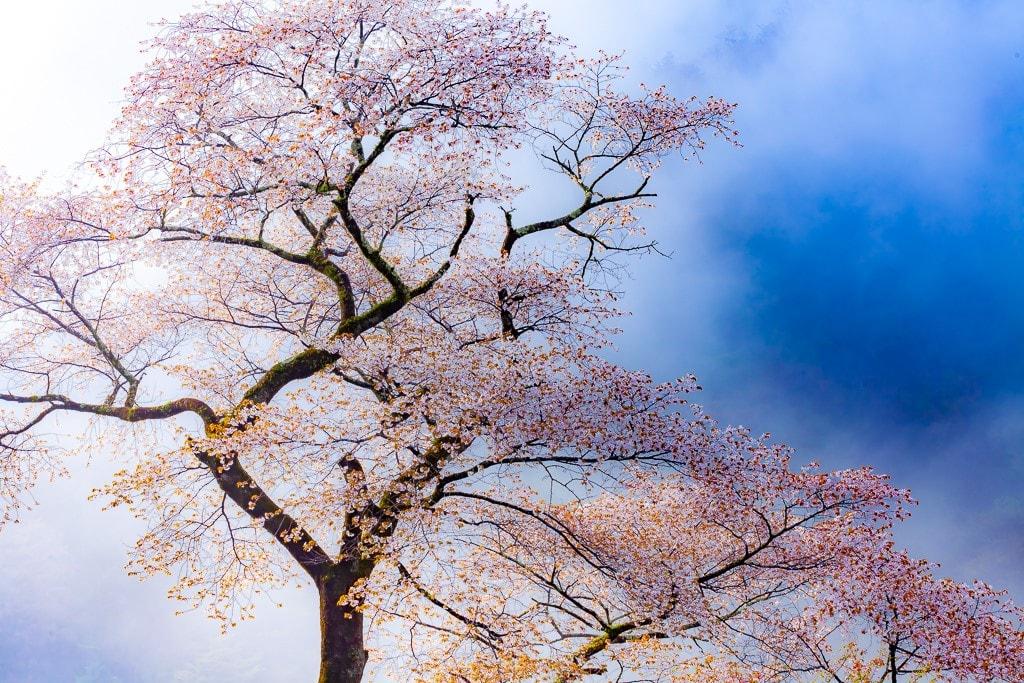 奥多摩の山桜の写真
