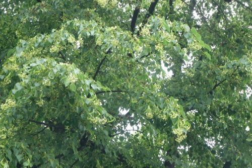 大名町のシナノキ(科の木、級の木)